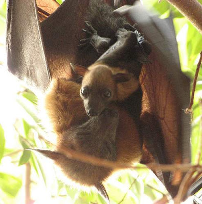 Image of a Lyle's Flying Fox, found in Phnom Penh, technically called Pteropus lylei. This image is from http://www.flickr.com/photos/allesok/449224019/ and was taken on 7 de abril de 2007 by Diana Lili M. This file is licensed under Creative Commons Attribution ShareAlike 2.0 License. This image, which was originally posted to Flickr, was reviewed on 21-December-2008 by the administrator or trusted user Bidgee, who confirmed that it was available on Flickr under the above license on that date. This image was sourced from the Wikimedia Commons.