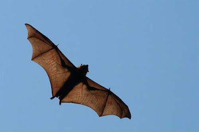 Image of a flying fox Vampire bat, also found in the air, on trees, in the kitchens, and on plates in Phnom Penh. This image was sourced from Wikimedia Commons and is entitled 'This picture was taken in Geelong, Victoria Australia. It shows the wing structure which is fascinating.' The copyright holder, while preferring to remain anonymous, has stated 'I, the copyright holder of this work, hereby release it into the public domain. This applies worldwide. In case this is not legally possible, I grant any entity the right to use this work for any purpose, without any conditions, unless such conditions are required by law.' The Wikimedia Commons notes that another picture shares the name, but that other image is clearly a different image.