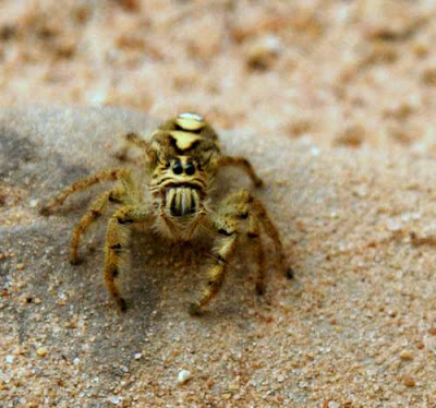 Second image of a fearsome Cambodian spider.