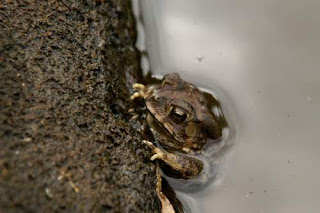 Image of a Cambodian frog cowering in a water tank