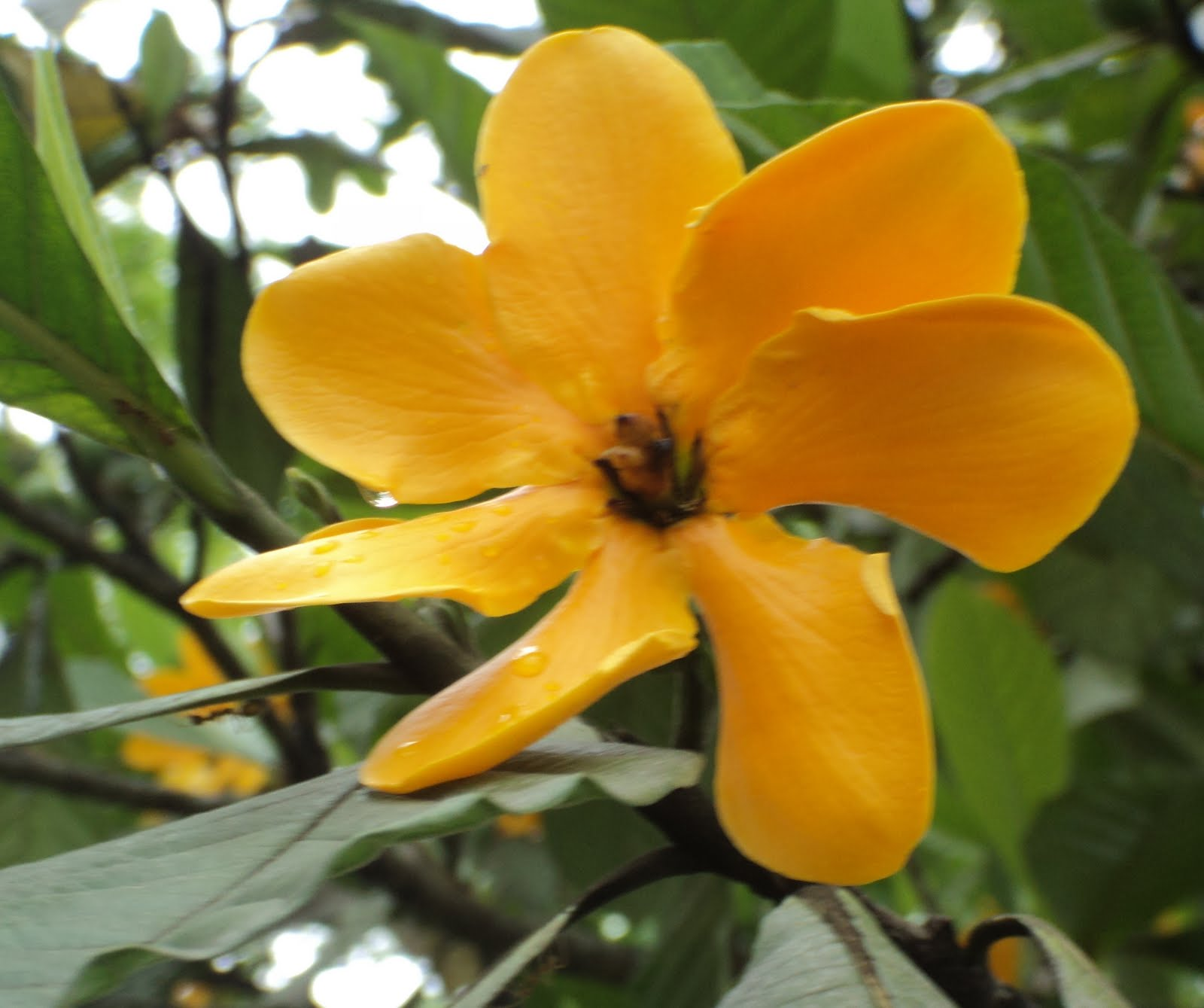 My Sarawak 2nd Ed January Flowering Trees Of Bintulu Part 3