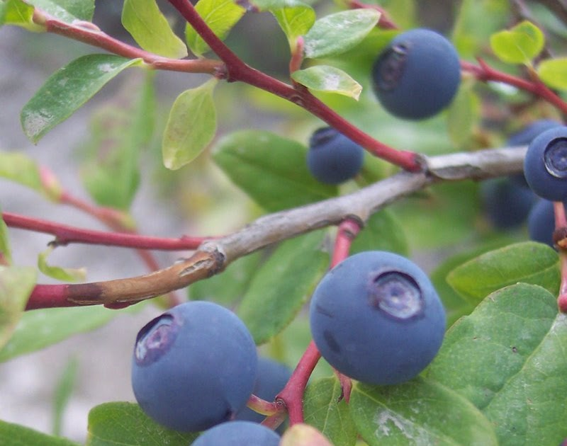 Get Out North Idaho: Huckleberry Season Roundup
