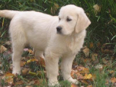 golden retriever puppies pictures. golden retriever puppies