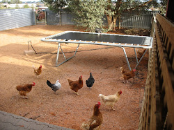 Our Chooks
