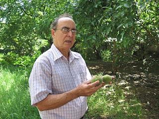 Fruto Arbol de Tung