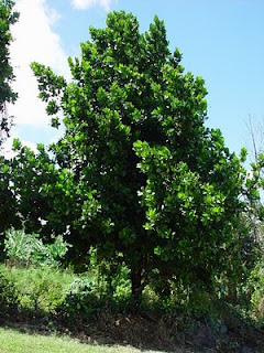 Arbol Mamey