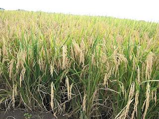 La Educacion Agricola Cultivo de Arroz