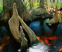 Cypress Tree knees