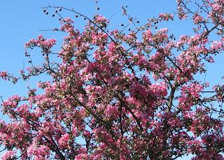 Vaaleanpunainen puu