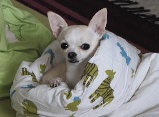 Chihuahua Muusa