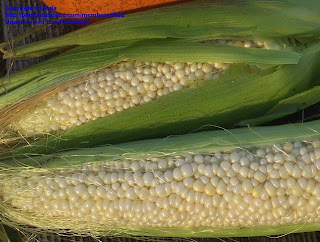 "Country Gentleman corn features kernels in a random fashion and is called ""shoepeg"" corn"