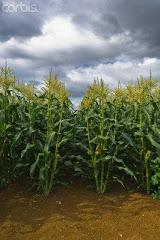 maíz hermano