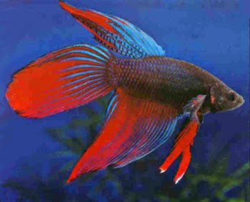 Chinese fighter fish life span