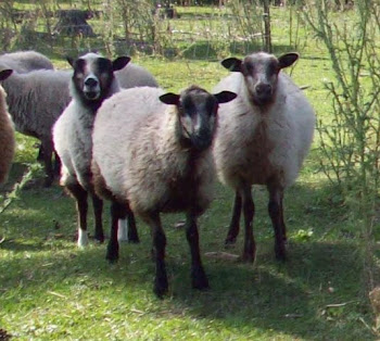 Three Katmoget Ewes