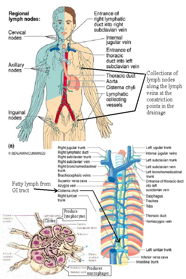 Lymphatic System on blood circulatory system ppt