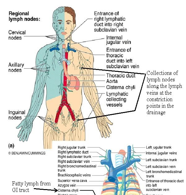 My Point Of View Lymphatic System