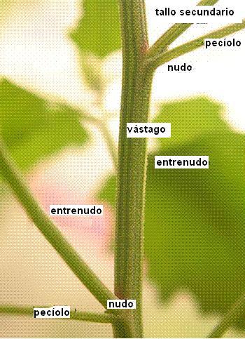 tallo parte: