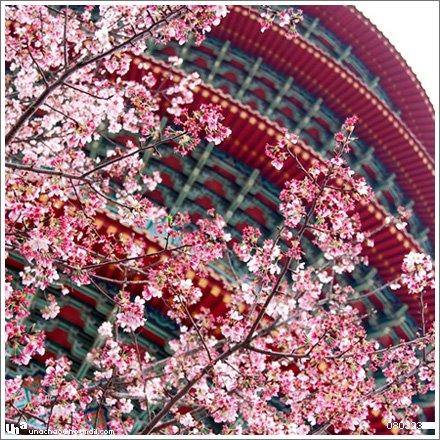淡水天元宮與吉野櫻。
