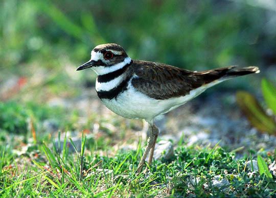 birds of obu birds in central oklahoma