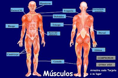 los musculo y el deporte: