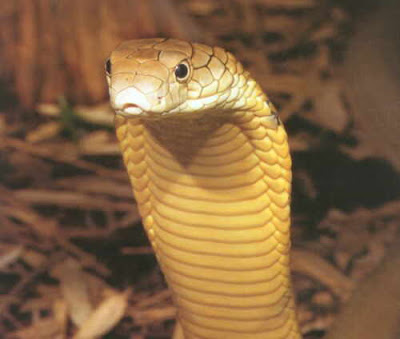 The average lifespan of a King Cobra is about 20 years.