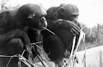 2009 es el Año de nuestro hermanito el Gorila...