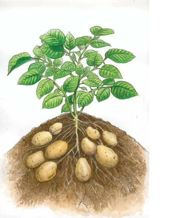 Cultivo de la papa for Como plantar patatas en casa