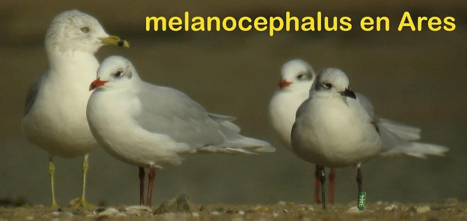 melanocephalus