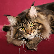 Above: Maine Coon from Japan on Burgundy Background