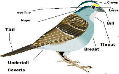 OC Birder Girl: Parts of a Bird