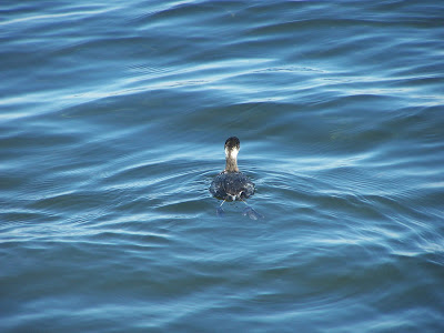 Eared Grebe in winter plumage copyright Karen McQuade, the OC Birder Girl