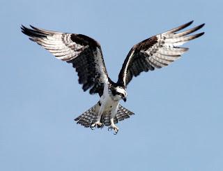 Osprey landing courtesy of NASA