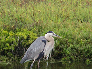 Great Blue Heron at Bolsa Chica