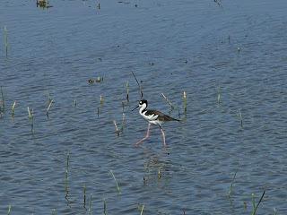 Black-necked Stilt at San Joaquin Wildlife Sanctuary