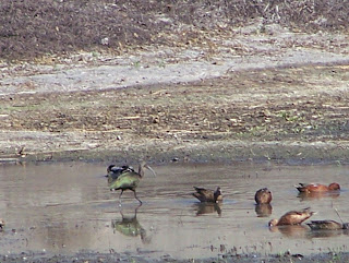White-faced Ibis, Cinnamon Teal and Other Ducks