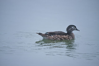 Female Wood  Duck Courtesy of US Fish and Wildlife Service