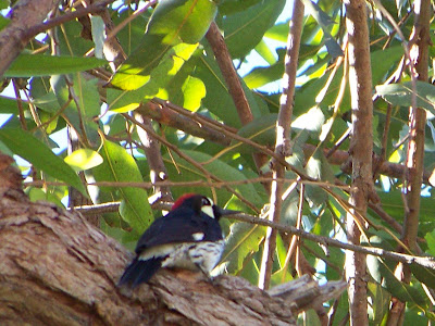 Acorn Woodpecker up a tree by the parking lot at Irvine Regional Park in