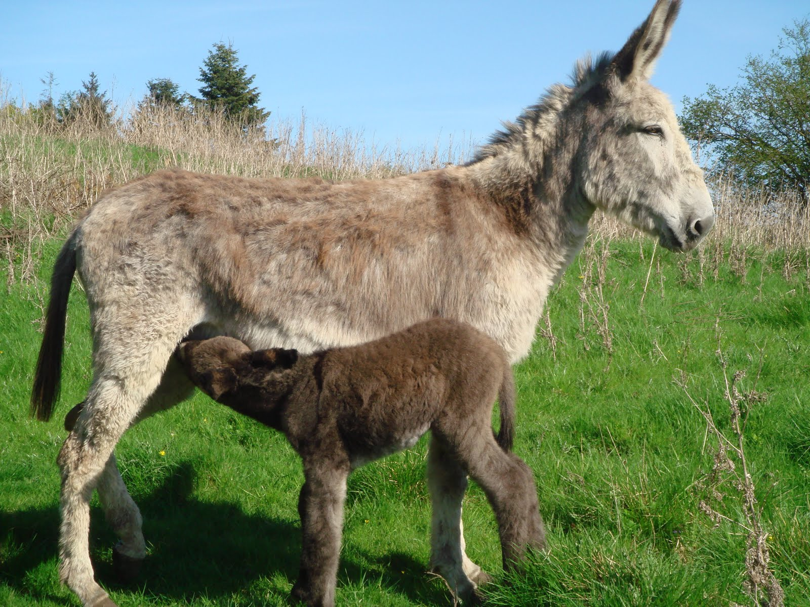 Cuckavalda Gundogs North Yorkshire Baby Donkey