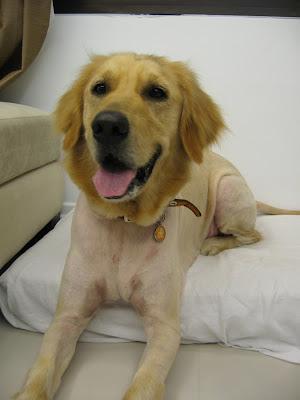 Dog Lion Cut