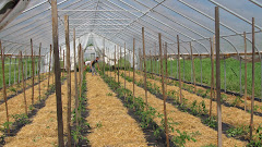 Trellising Tomatoes