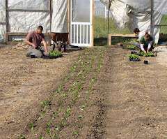 Planting Swiss Chard