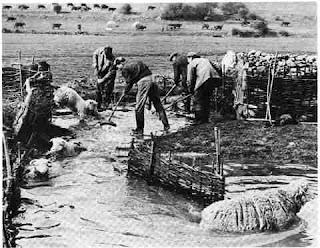 [Image: SHEEP+FARMING+LOCALLY_SHEEP+DIPPING+IN+BB.jpg]