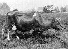 [Alderney+cow]