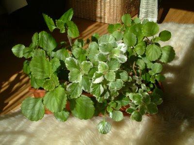 Plantas de interior - Plectranthus