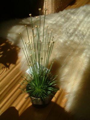 Plantas de interior: Syngonanthus chrysanthus Mikado