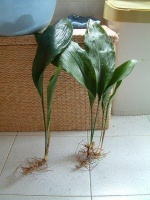 Plantas de interior: Aspidistra elatior