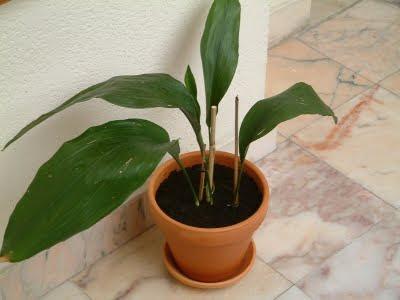 Plantas de inetrior: Aspidistra elatior