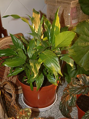 Plantas de interior : Spathiphyllum wallisii