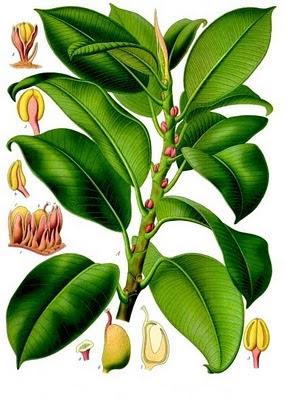 Plantas de interior - Ilustração do livro Plantas Medicinais de Köhler