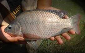 Como criar mojarra tilapia como criar mojarra tilapia for Como criar tilapias en estanques